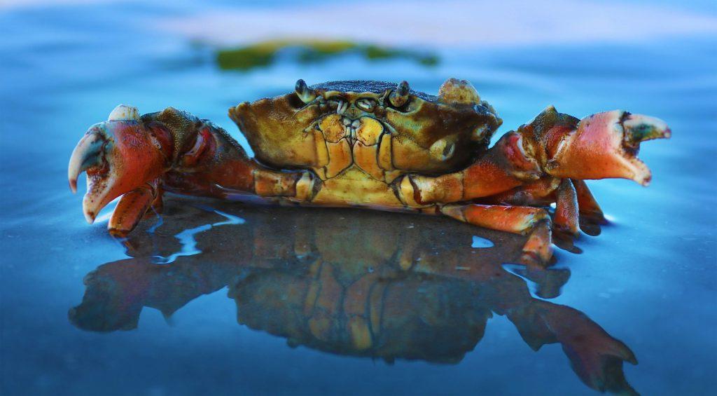 浜名湖どうまん蟹のイメージ画像