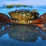 浜松の特産品「浜名湖ドウマン蟹」が食べられるお店