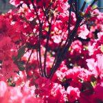【国指定の天然記念物】春野町の岩岳山を彩る5,000本の「ヤシオツツジ」