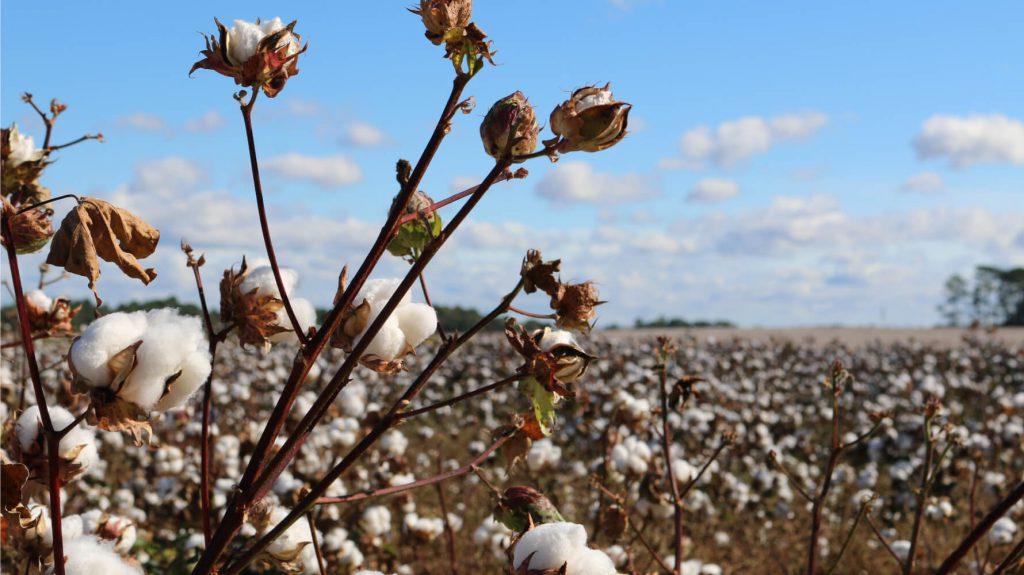 綿花のイメージ画像