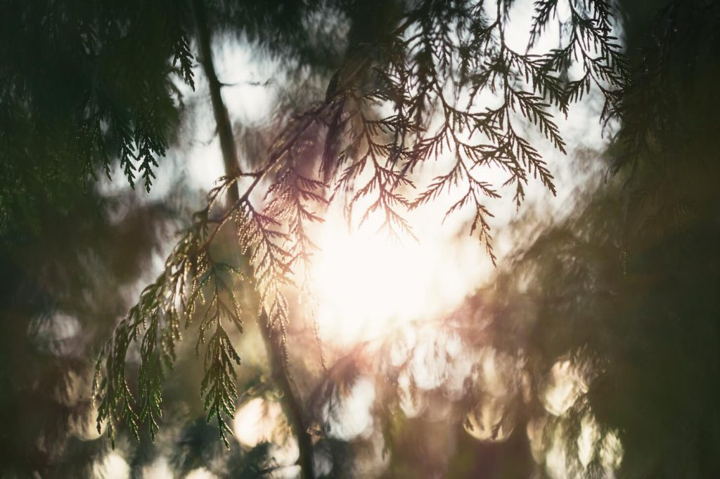 杉の木の画像