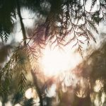 浜松市天竜区春野町の千年杉「春埜杉(はるのすぎ)」