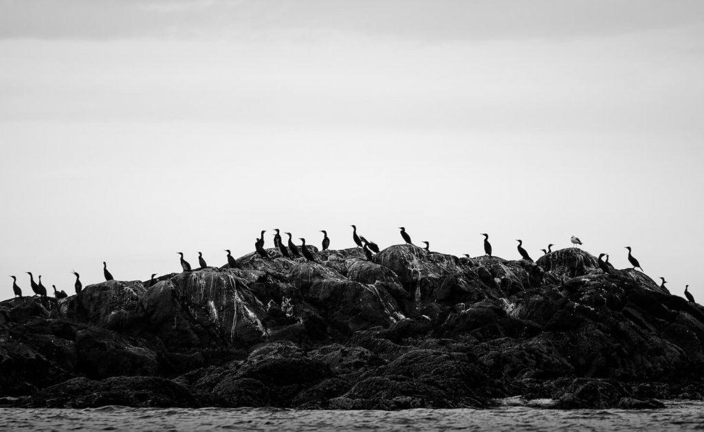 カワウの群れの画像