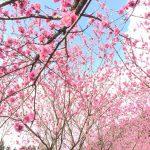 浜松市天竜区「花桃の里」のお祭り、500本の花桃が咲く「花桃まつり」