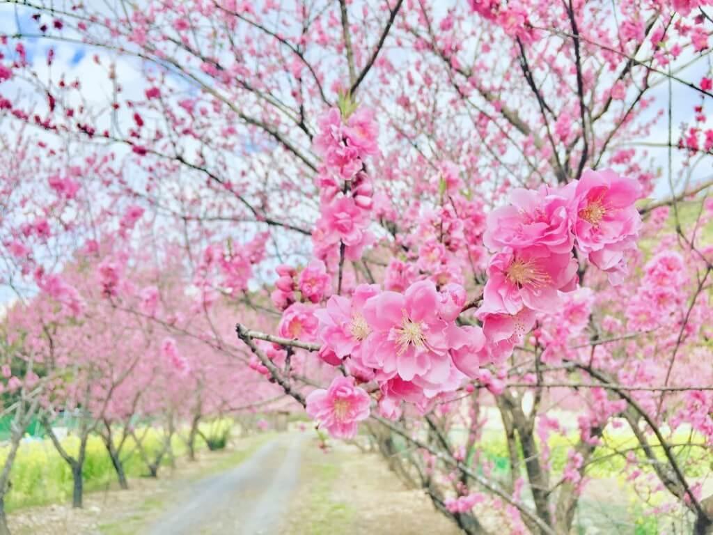 花桃まつりの画像