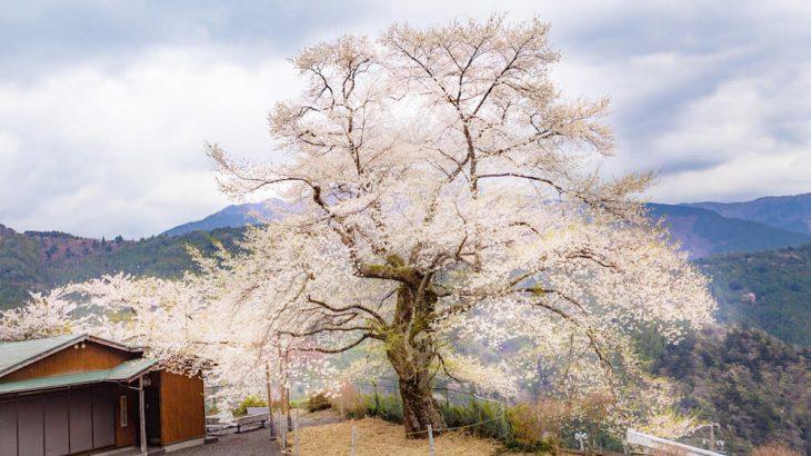 大野の一本桜の画像