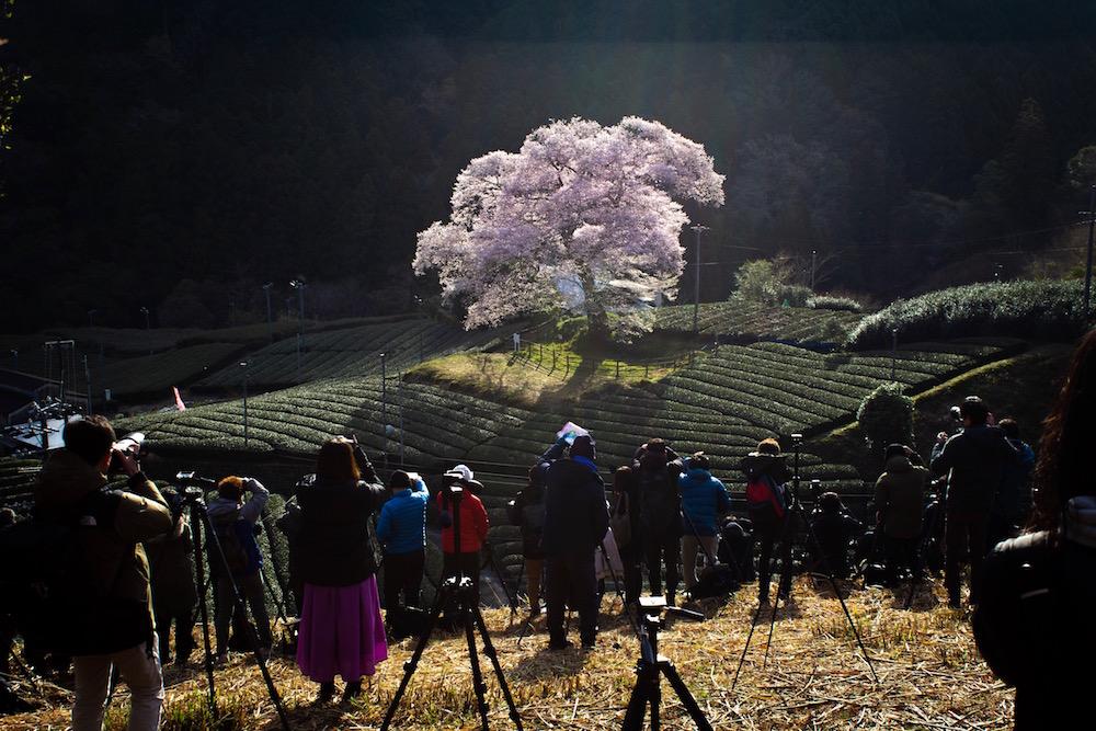牛代の水目桜の画像