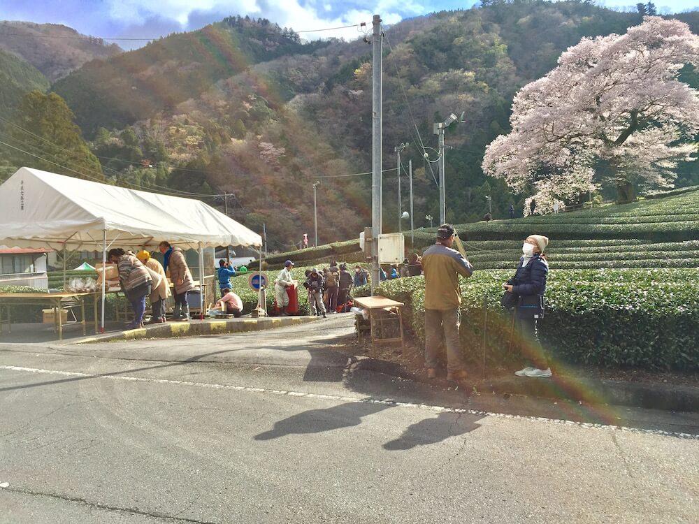 牛代のみずめ桜の画像