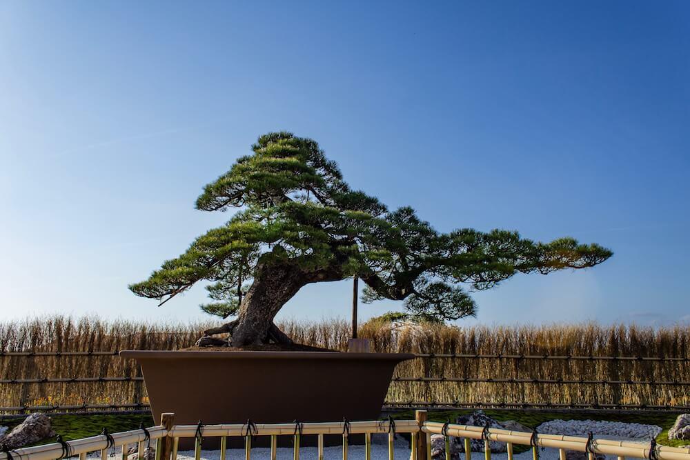 浜松フラワーパーク「大物盆栽展」の画像