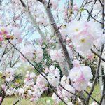 【浜松の桜スポット】乎那の峯を彩る、ふわふわの三ヶ日桜