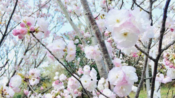 乎那の峯の三ヶ日桜の画像